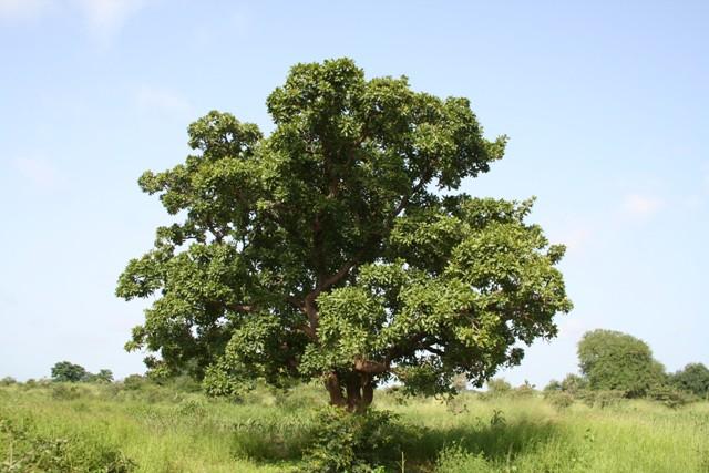 Karitebaum